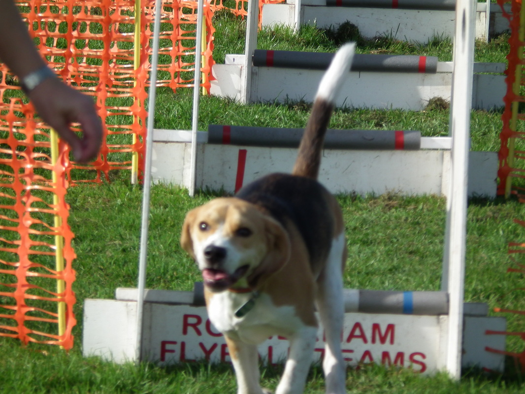 how to train your dog for flyball